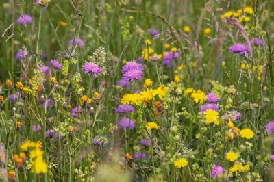 wild-flower-meadow-3386014_1920.jpg